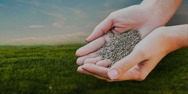газонные семена